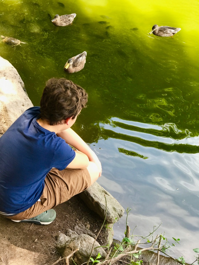 central park ducks