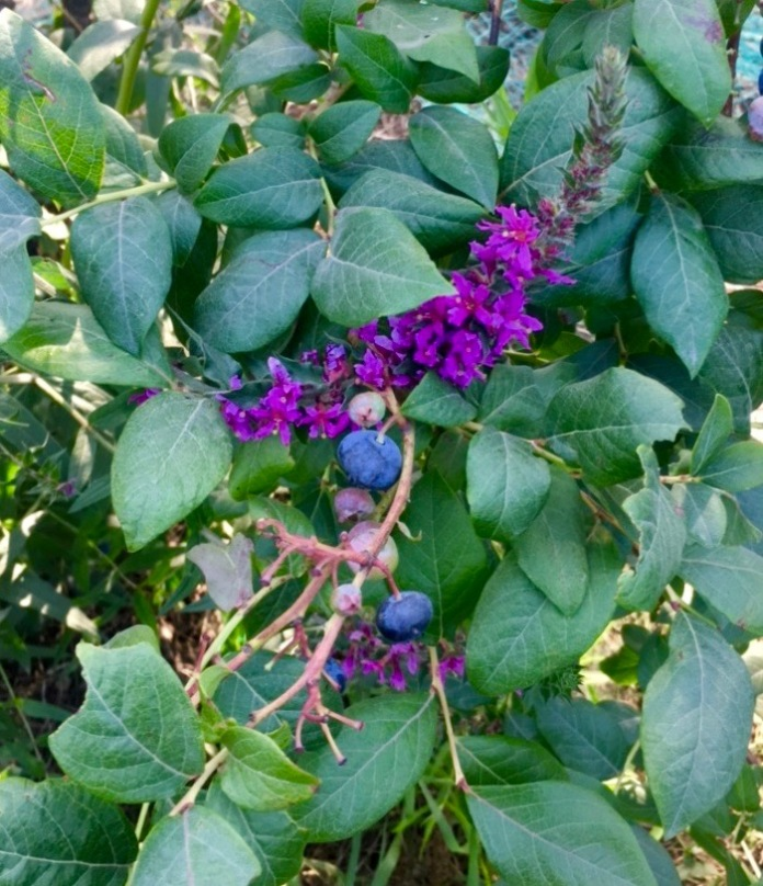 closeup of a blueberry bush