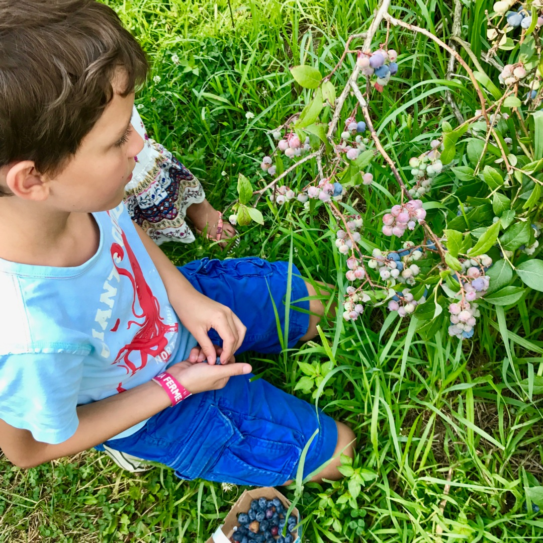 picking wild blueberries at the farm